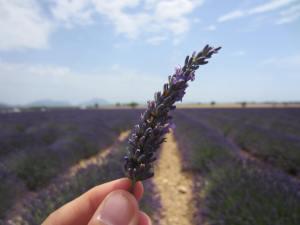 Lavender field, Aix